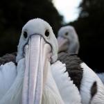 Pourquoi je ne suis pas (encore) passé à Pelican